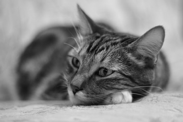 Portrait lying on the bed of a striped domestic cat. Monochrome image in retro style