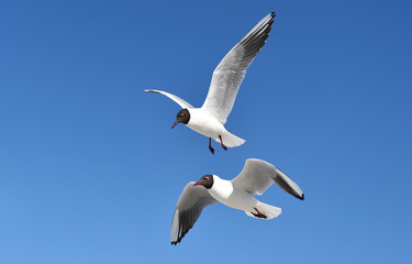 Lachmöwe fliegt
