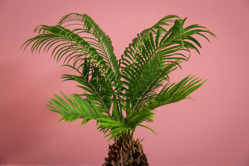 Tropical palm tree with green leaves on color background