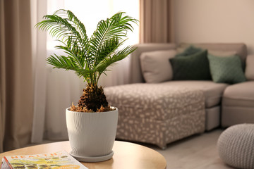 Flowerpot with tropical palm tree on table indoors