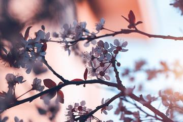 Blooming of cherry tree