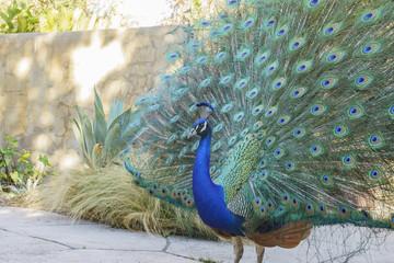 Close up shot of a beautiful peacock showing his fan