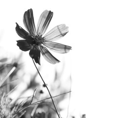 Cosmos flower on a white background. Black-and-white photo