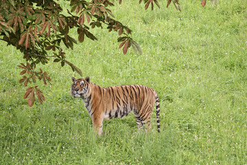 Tiger in a meadow, controlled conditions. Taken in Cabarceno Natural Park in Spain, home to a hundred animal species from five continents living in semi-free conditions.