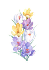 Bouquet of colorful spring flowers on a white background. Watercolor illustration with yellow, white and violet crocuses. Can be used as greeting cards, wedding invitations, birthday, mothers day.