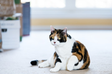 Face female calico cat sitting lying down comfortable on carpet in home room inside house, yellow eyes