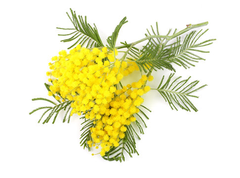 mimosa isolated on white background. Top view