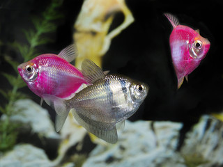 Two Pink Glow Fish and Black Widow Tetra in an Aquarium
