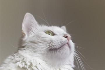 Gato branco olhando para cima