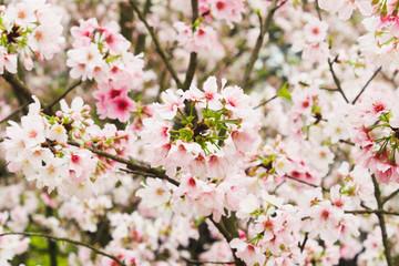 Fresh Group Branch of Blossom pink sakura tree in the garden