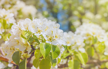 Spring blossoming pear. White flowers on blooming pear tree in sunshine. Macro shot.