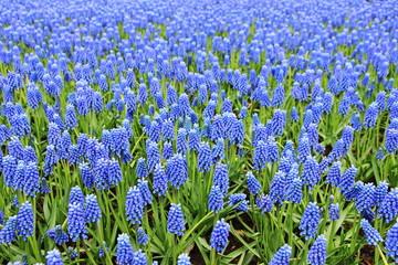 Grape Hyacinth Bed