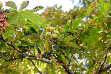 September thorny chestnuts hang on a tree