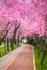 Beautiful landscape with a park alley covered with branches filled with pink flowers in springtime in Timisoara, Timis County, Romania