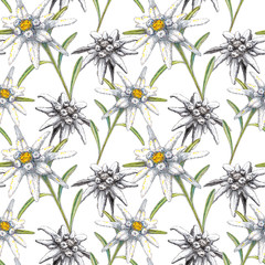 Seamless texture (pattern) with Edelweiss on the white background