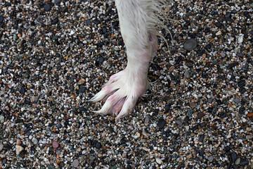 White Borzoi wet paw on stone beach
