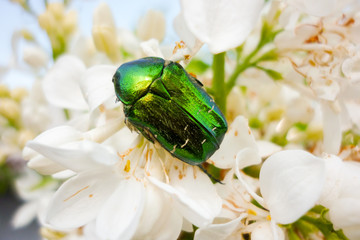 Rose chafer (Cetonia aurata) in white-flowered