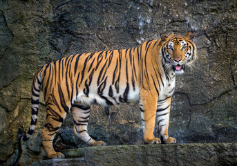 Sumatra tiger is standing gracefully in the natural atmosphere of the zoo.