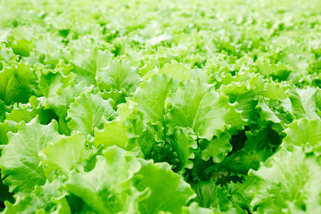 Background of fresh green lettuce leaves on plantation of farm