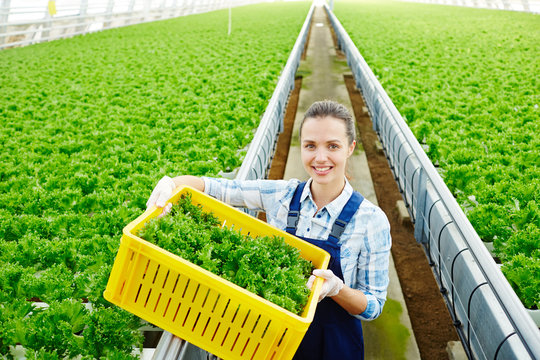 Happy young woman in uniform box of lettuce walking along aisle between plantations in greenhouse