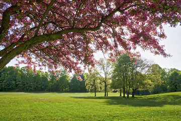 cherry tree in spring time