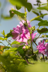 Pink Hollyhock blossoming in the daylight, beautiful garden flowers