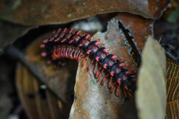 Dragon Millipede