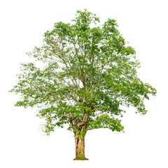 A tree shape and Tree branch on white background for isolate the background, A single tree on white background with clipping path.