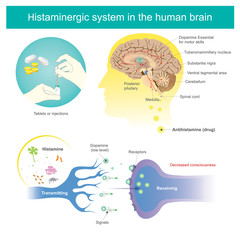 Histaminergic  system in the human brain. Histamine Illustration.