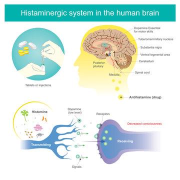 Histaminergic  system in the human brain. Histamine Illustration.