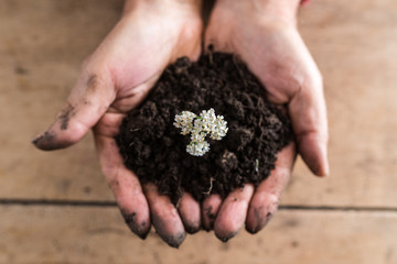 Top view of a man holding a handful of rich fertile soil with a dainty white summer flower