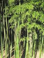 Alberi di bambù