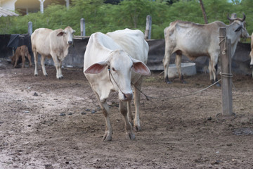 A white cow in Thailand standing in a cow shed.