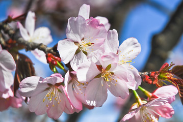 The pink flowers of Japanese cherry blossom or Sakura (Prunus serrulata) on the background of blue sky
