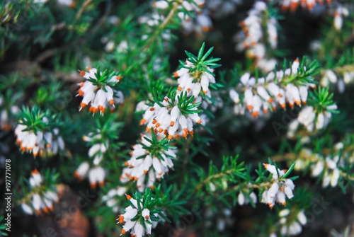 Blooming white flowers common heather or ling calluna vulgaris blooming white flowers common heather or ling calluna vulgaris mightylinksfo