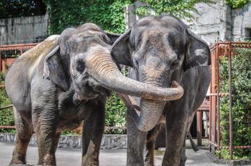 アジア象のカップル