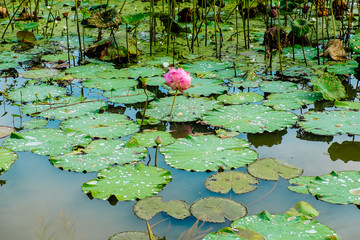 Lotus flowers, plantation,Cambodia