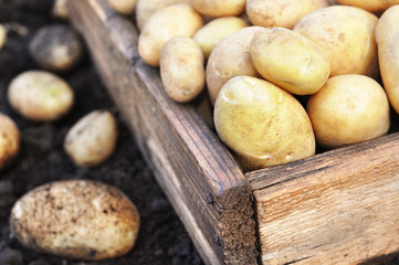 Raw harvested potatoes in wooden crate, soil background, selective focus