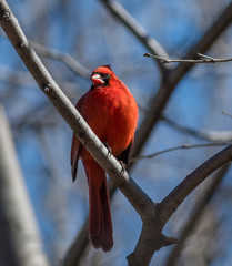 Cardinal Perched On Tree Branch