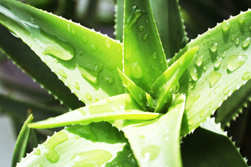 Aloe Vera Plant Close Up With Water On Leaves