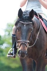 Portrait of thoroughbred brown horse in bridle at training