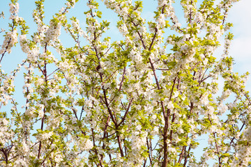 Beautiful Spring Nature blossom background