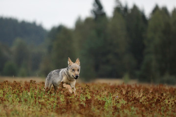 Running cub of Eurasian wolf in autumn meadow - Canis lupus