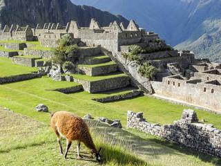 a llama eating grass in machu picchu