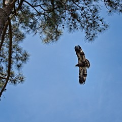 Fledgling Eagle about 2 Months Old Learning to Fly