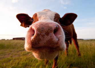 Funny shot of a cute cow