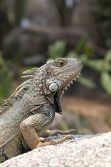 Iguana sitting on a rock in the countryside, Aruba, Caribbean.