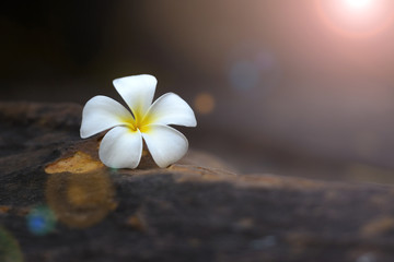 Plumeria flower on Rock stone with copy space