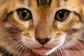 redhead with black stripes muzzle kitten of Bengal breed close-up for background