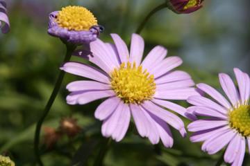 Pinke Chrysantheme Blume